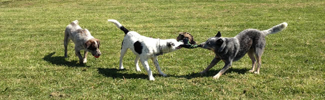 Dogs playing at Sydney Pet Resort